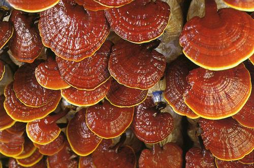 Ganoderma Lucidum 1