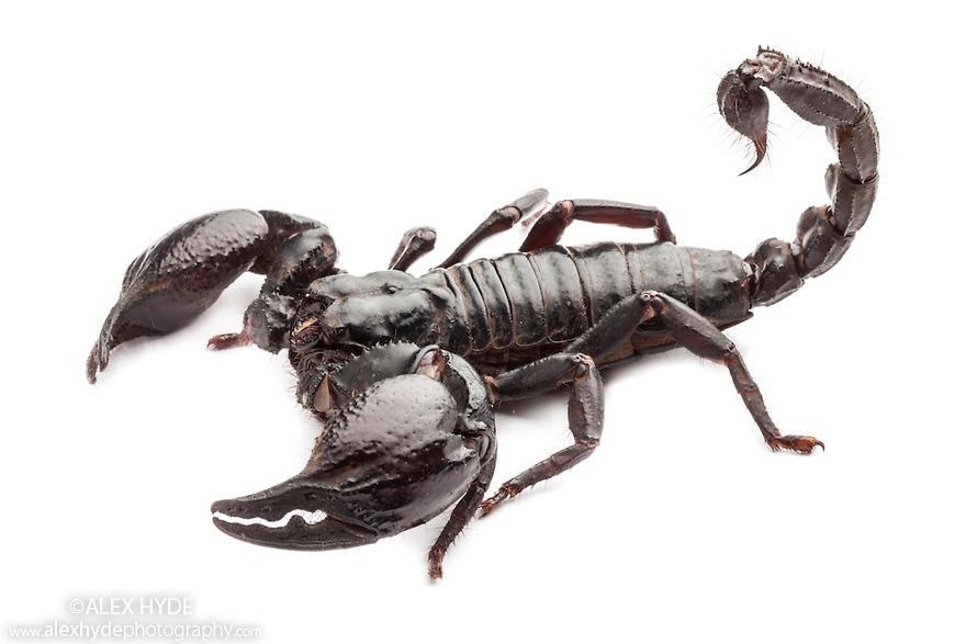 Giant Forest Scorpion [Heterometrus laoticus}