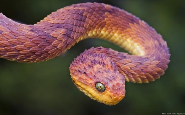 serpente arrotolato su se stesso