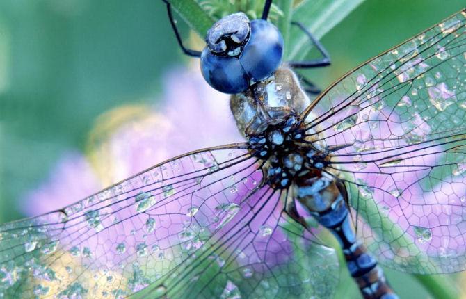 blu di libellula