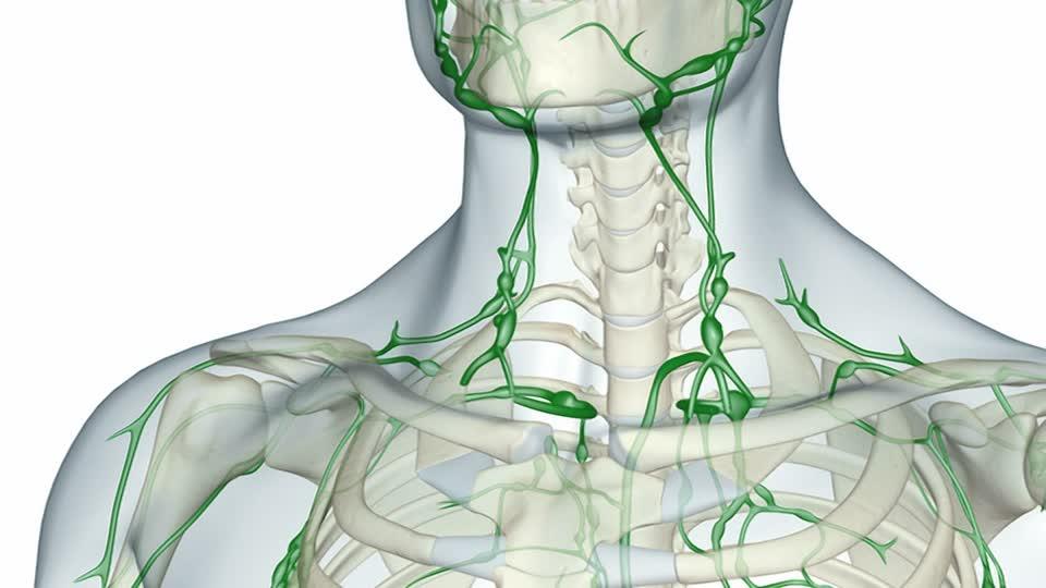 Tovato collegamento tra cervello e sistema linfatico-1
