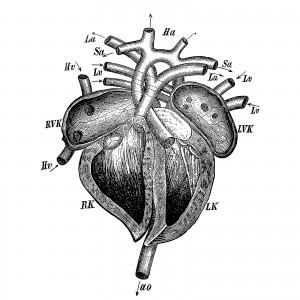 cuore-tavola-anatomica