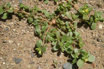Portulaca Oleracea Proprietà e Controindicazioni