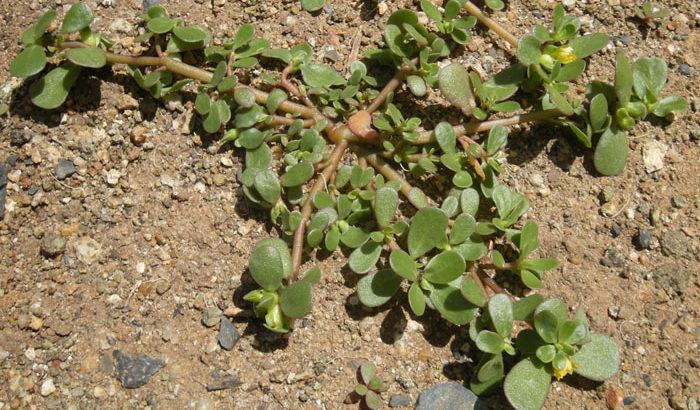 Portulaca Oleracea Proprietà e Controindicazioni 1
