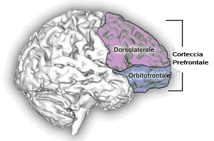 cortecciaprefrontale