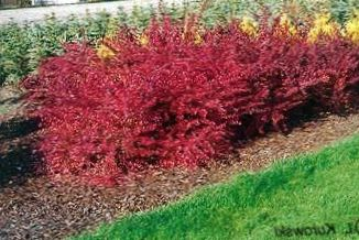 4 10 barberry japanese barberry bg
