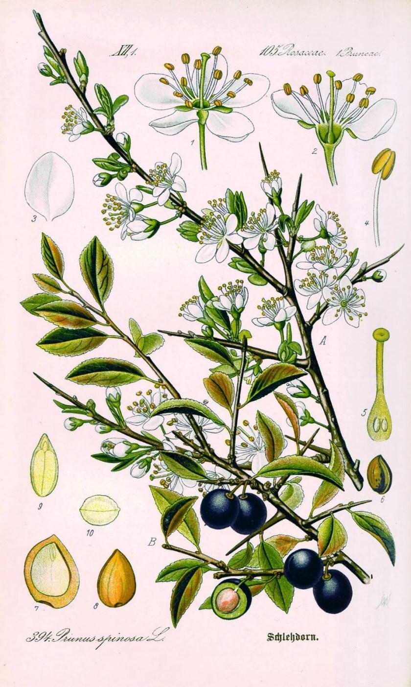 TavolaPrunus spinosa L