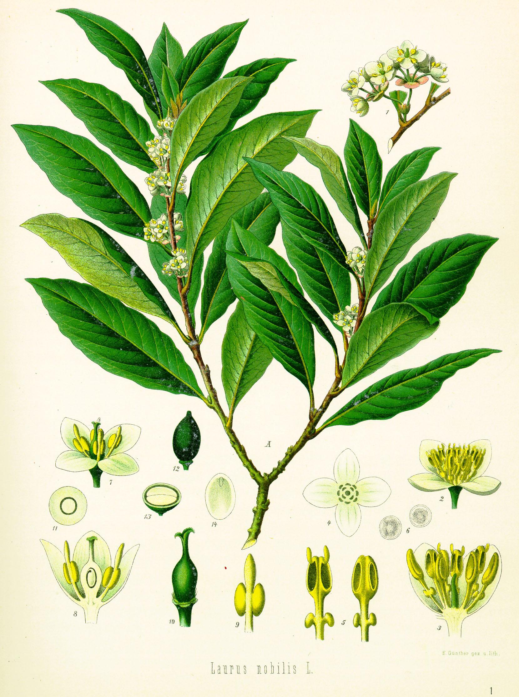 laurus nobilis botanica
