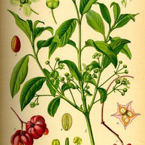 tavola botanica della fusaggine 7030