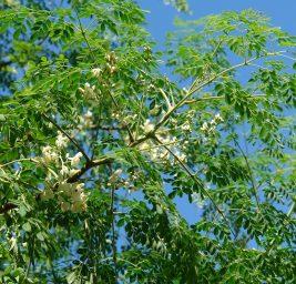 La Moringa Oleifera