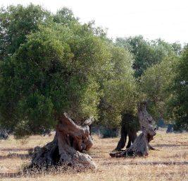 L'Estratto di Foglie di Ulivo: dalla Natura i Rimedi per la Nostra Salute